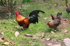 Hühner im Garten Stockbilder