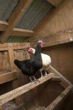 Hühner im Korb Lizenzfreies Stockbild