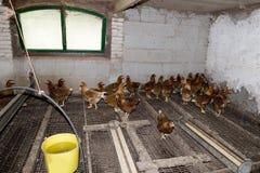 Hühner im Stall Lizenzfreies Stockbild