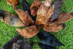 Hühner in Polen lizenzfreie stockfotos