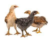 Hühner steht und schaut Stockfoto