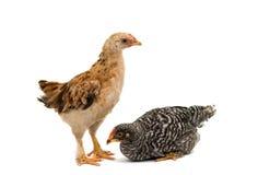 Hühner steht und schaut Lizenzfreie Stockfotografie