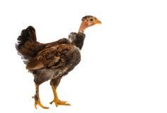 Hühner steht und schaut Lizenzfreies Stockfoto