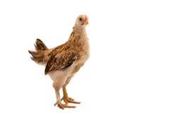 Hühner steht und schaut Lizenzfreies Stockbild
