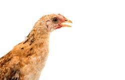 Hühner steht und schaut Stockfotografie