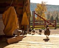 Hühner und Babyküken stockbilder