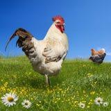 Hühner und Brandhahn auf der grünen Wiese Lizenzfreie Stockfotografie