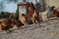 Hühner und eine hintere Ansicht des Hahnes in den Vordergrund eines Maschendrahtzauns, Lizenzfreies Stockfoto
