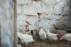 Hühner und Hähne lizenzfreies stockbild