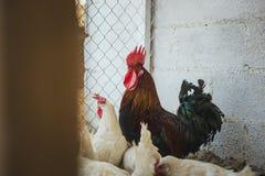Hühner und Hähne stockfotografie