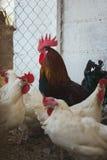 Hühner und Hähne stockfotos