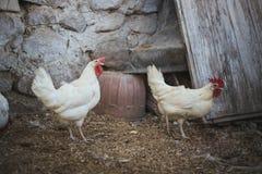 Hühner und Hähne stockbilder