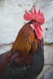 Hühner und Hähne lizenzfreie stockfotos