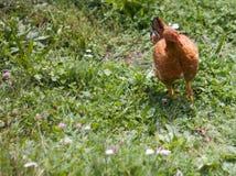Hühner und Hennen auf dem Bauernhof Stockfoto