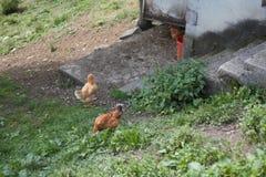 Hühner und Hennen auf dem Bauernhof Lizenzfreies Stockbild