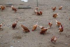 Hühnerbauernhöfe und -hühner Stockfotografie
