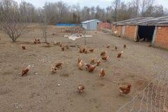 Hühnerbauernhöfe und -hühner Stockfotos