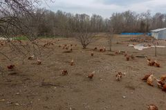 Hühnerbauernhöfe und -hühner Stockbilder