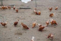 Hühnerbauernhöfe und -hühner Lizenzfreie Stockfotos