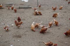 Hühnerbauernhöfe und -hühner Lizenzfreies Stockfoto