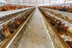 Hühnerbauernhof Stockbilder