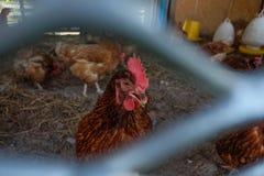 Hühnerbauernhof in Thailand stockbild