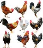 Hühnerbunter Hahn-Hahnsatz lokalisiert auf einem weißen Hintergrund stockfotografie