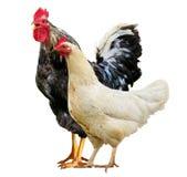 Hühnerbunter Hahn lokalisiert auf einem weißen Hintergrund lizenzfreie stockfotografie