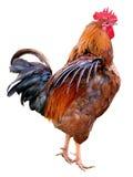 Hühnerbunter Hahn lokalisiert auf einem weißen Hintergrund Symbol 2017, entsprechend dem Ostkalender stockbilder