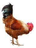 Hühnerbunter Hahn lokalisiert auf einem weißen Hintergrund Symbol 2017, entsprechend dem Ostkalender lizenzfreies stockbild