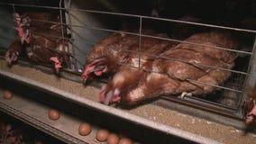 Hühnereien und Hühner, die Lebensmittel im Bauernhof essen stock video footage