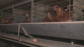 Hühnereien und Hühner, die Lebensmittel im Bauernhof essen stock footage