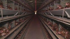 Hühnereien und Hühner, die Lebensmittel im Bauernhof essen stock video