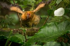 Hühnerfliegen in der Natur Stockbilder