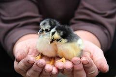 Hühnerhände Stockfoto