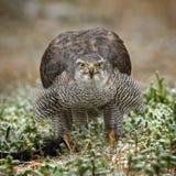 Hühnerhabicht - Accipiter gentilis Lizenzfreie Stockfotos