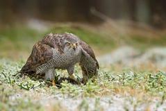 Hühnerhabicht - Accipiter gentilis Lizenzfreie Stockbilder