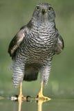 Hühnerhabicht, Accipiter gentilis Lizenzfreie Stockfotos