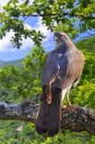 Hühnerhabicht im Wald. Lizenzfreies Stockfoto