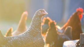Hühnerhenne und -junger Hahn stockfotos