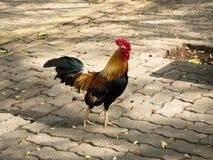 Hühnerleben im Hinterhof lizenzfreies stockbild