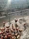 Hühnernachmittag Lizenzfreies Stockfoto