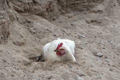 Hühnersandbaden lizenzfreies stockbild