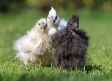 Hühnersilk chinesischer Biobauernhof, im Freien Stockfotos