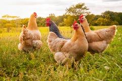 Hühnersonnenuntergang Stockbild