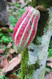 Hülse der Arriba Kakaos auf einem Baum in Ecuador Lizenzfreies Stockfoto