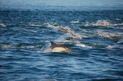 Hülse der gemeinen Delphine Stockbild