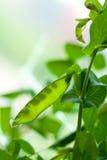 Hülse der grünen Erbse stockbilder