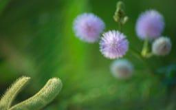 Hülse der Mimose Lizenzfreie Stockfotos