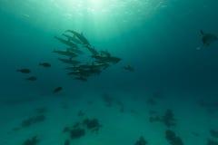 Hülse des Spinnerdelphins (stenella longirostris) im Roten Meer. Stockfotos